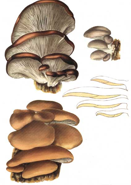 Oyster Mushroom: Pleurotus ostreatus | Untamed Science